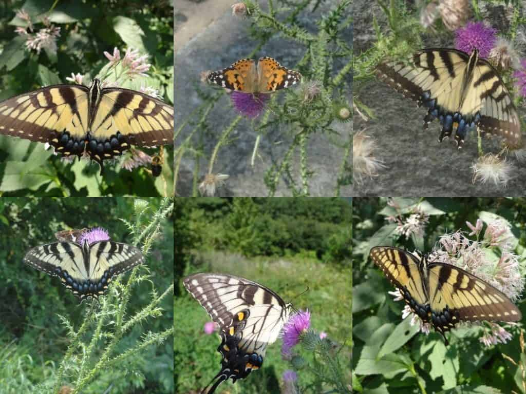 swallowtail butterflys in shenandoah national park