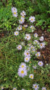 Symphyotrichum oblongifolium Aromatic Aster flower