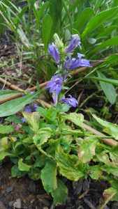 Blue Lobelia Plant Bloom