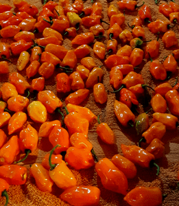 habanero pepper harvest