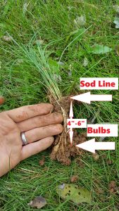 wild onion garlic diagram