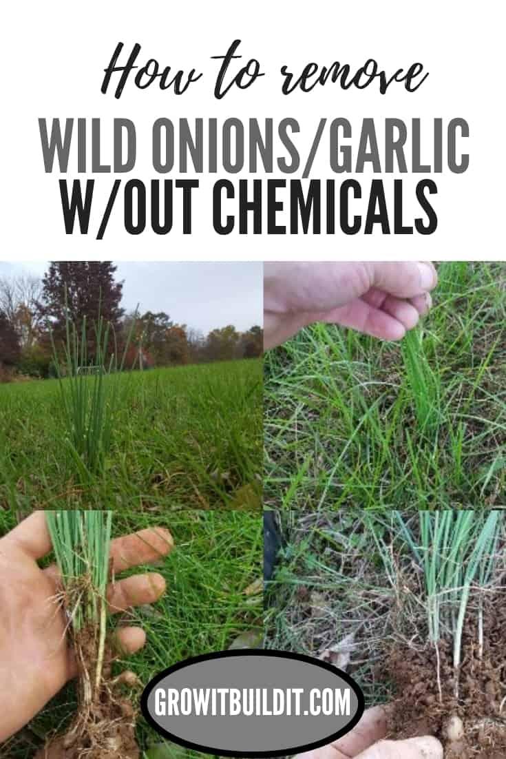 wild onion pin