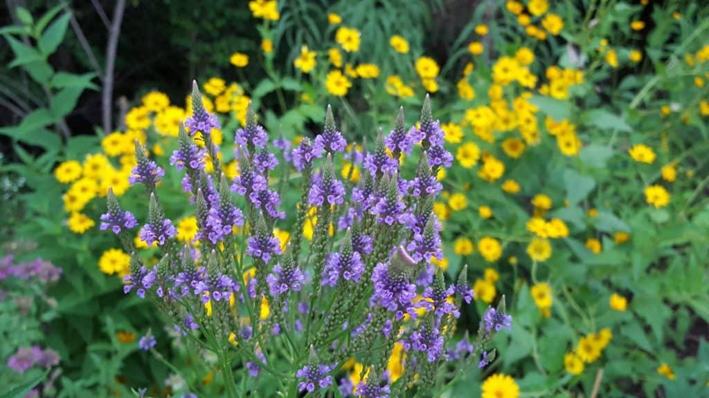 blue vervain verbena hastata flower