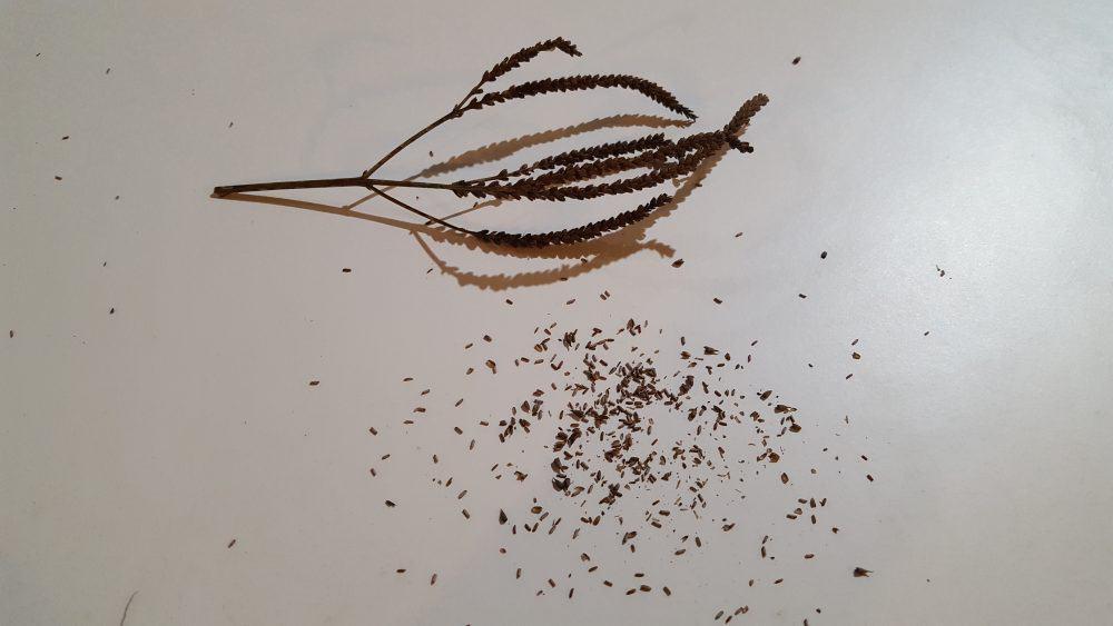 verbena hastata seed head seeds