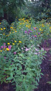 Bee Balm, early sunflower, tall sunflower
