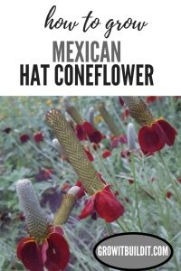 How to Grow Mexican Hat Coneflower