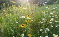 black-eyed-susan-in-meadow-rudbeckia- micro prairie