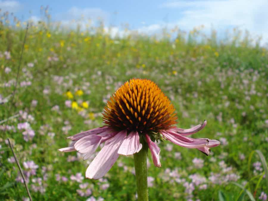 Echinacea purple coneflower prairie