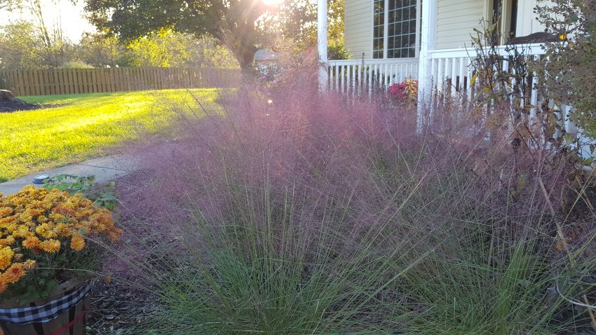 Pink Muhly Grass Autumn