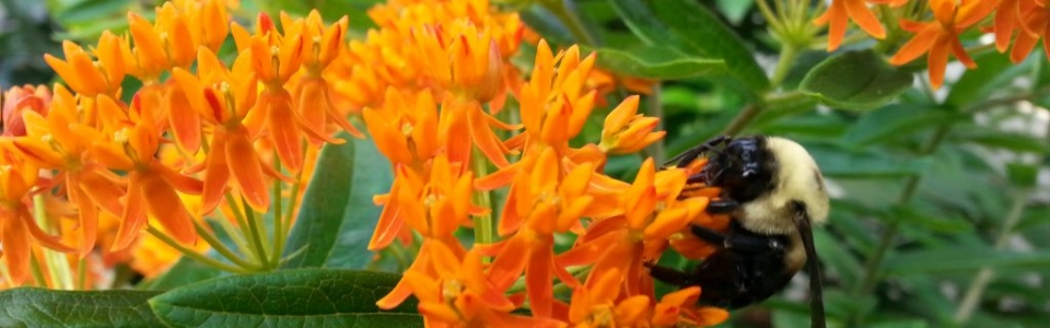 Learn how to Grow Butterfly Weed