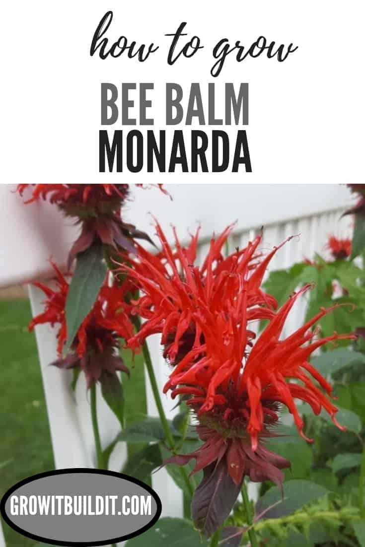 Bee Balm Monarda - How to Grow