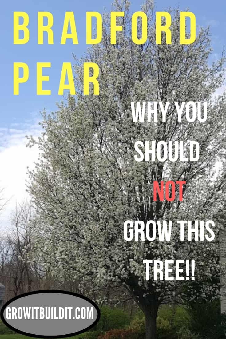 Bradford Pear Tree Why not to Grow it