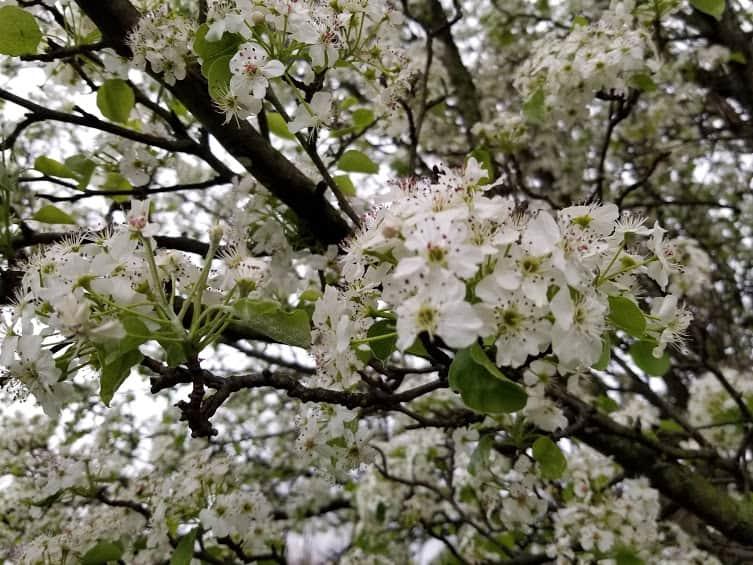 bradford pear tree bloom