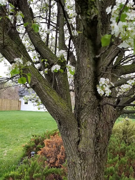 steep callery bradford pear tree branch structure