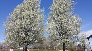invasive Callery Bradford Pear Tree
