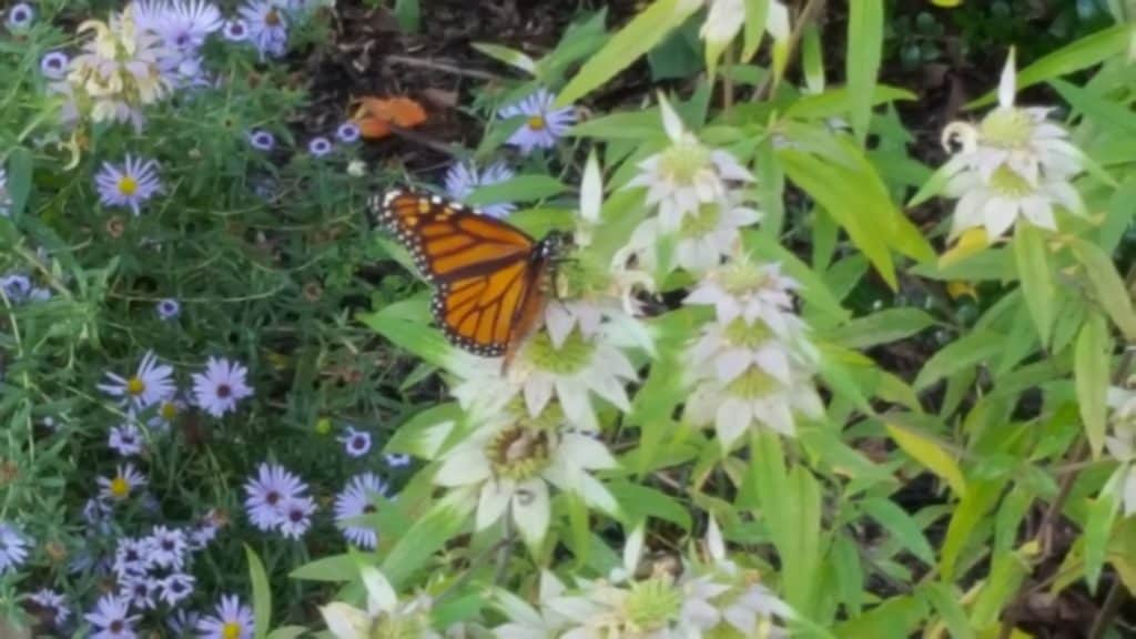 monarch butterfly spotted bee balm monarda punctata