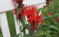 red bee balm monarda didyma oswego tea