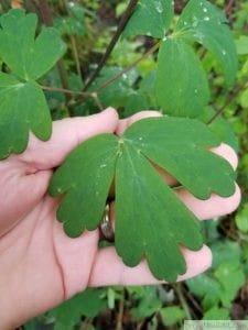 columbine leaf