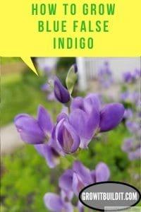 How to Grow Blue False Indigo