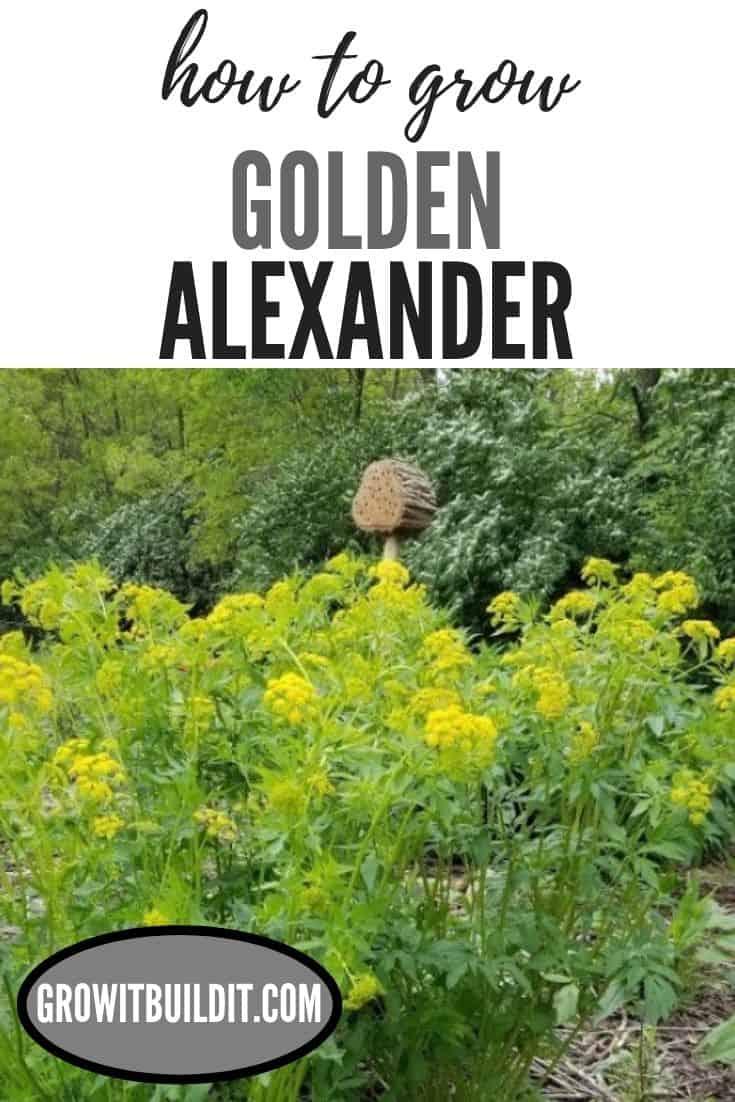 How to Grow Golden Alexander