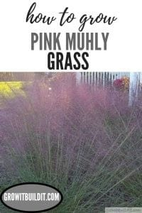 Pink Muhly Grass How to Grow