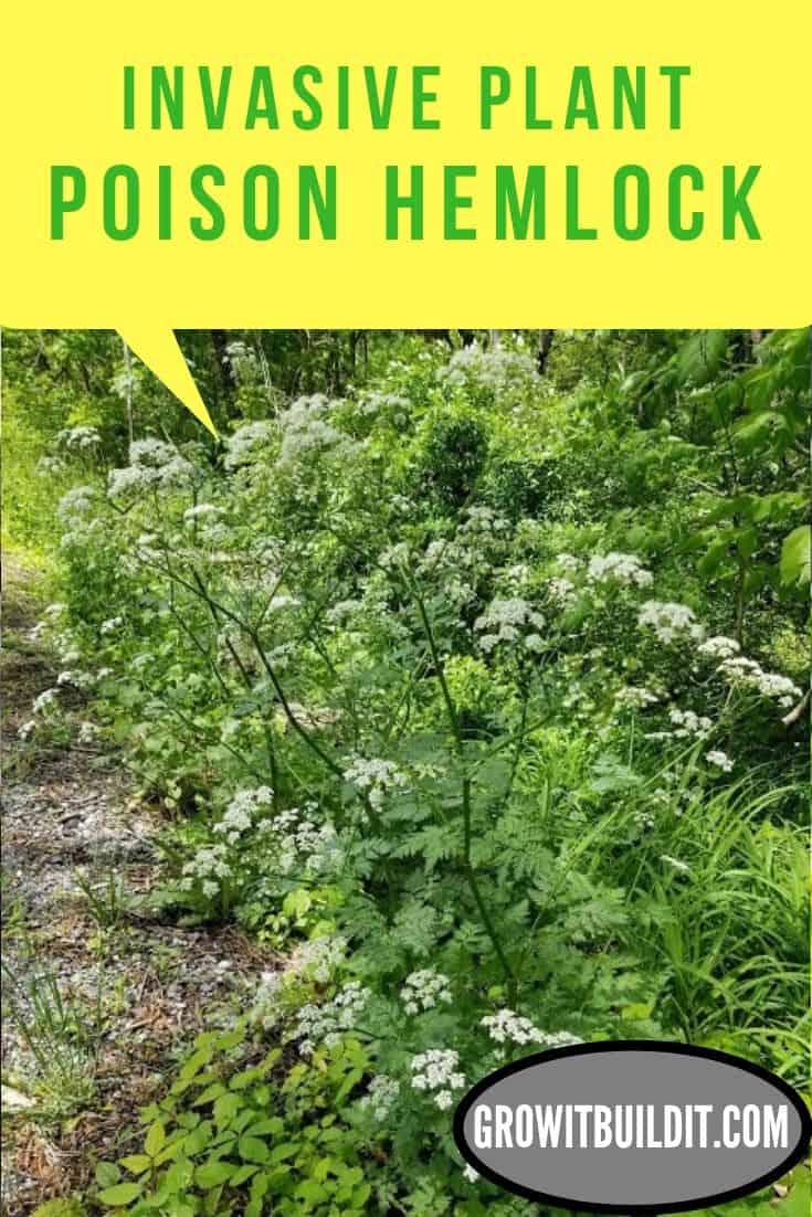 Poison Hemlock Invasive Plant