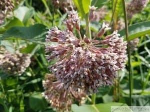 ascleapias syrica bloom flower