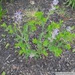 Baptisia Australis 3rd year bloom
