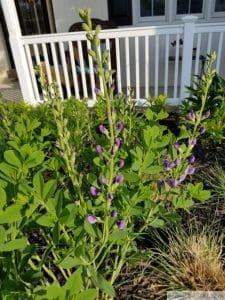 blue false indigo flower baptisia australis
