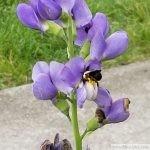 bumble bee pollen baptisia 1