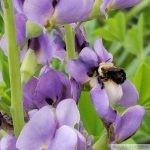 bumble bee pollen baptisia