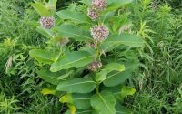 Common Milkweed 01