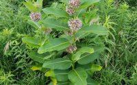 Common Milkweed 01