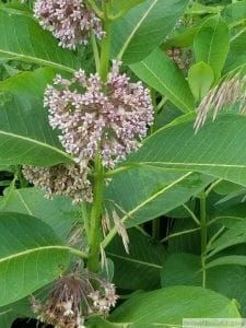 Common Milkweed Bloom