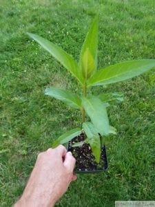 Common Milkweed Seedling asclepias syrica