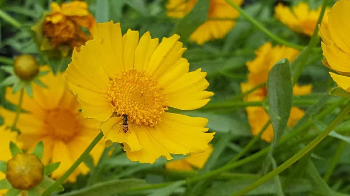 Lanceleaf Coreopsis bee