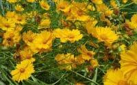 Lanceleaf Coreopsis flowers bloom
