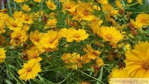 Lanceleaf Coreopsis flowers bloom