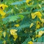 Partridge Pea Flower