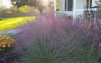 pink gulf muhly in autumn