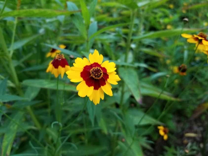 Plains Coreopsis Bloom 1