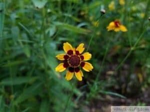 Plains Coreopsis Bloom 2