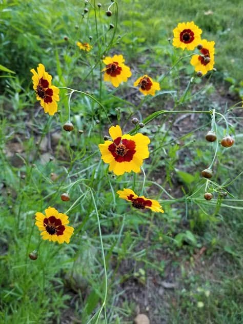 Plains Coreopsis plant flower 1