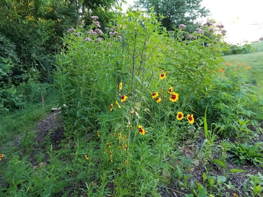 Plains Coreopsis plant flower