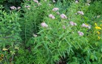Swamp Milkweed asclepias incarnata