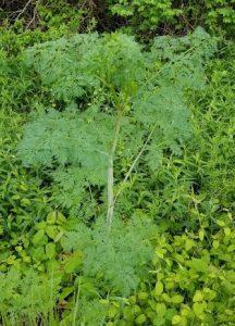 young poison hemlock conium maculatum