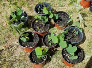 1st year seedlings cercis canadensis