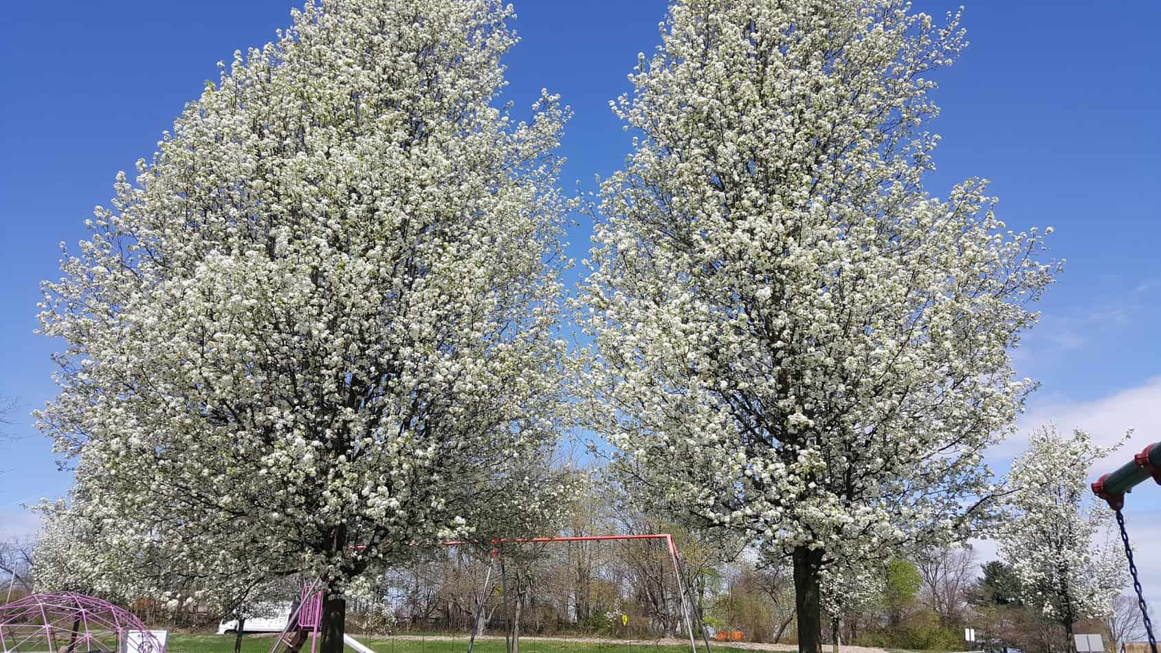 Bradford Pear Tree Invasive