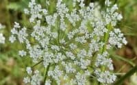queen annes lace flower