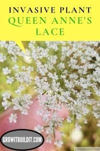 Queen Anne's Lace Facts and Identification Invasive Plant